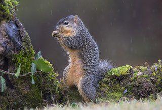 Лисья белка - Fox Squirrel